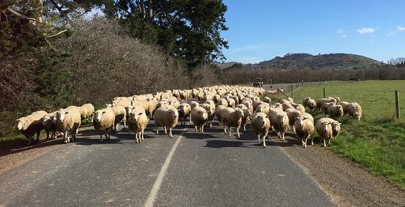 rams pre-shearing 2017_shrunk